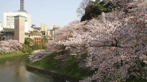 桜 sakura tokyo 東京 Filmmaterial