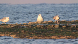 Gulls standing on a rock in the sea Footage