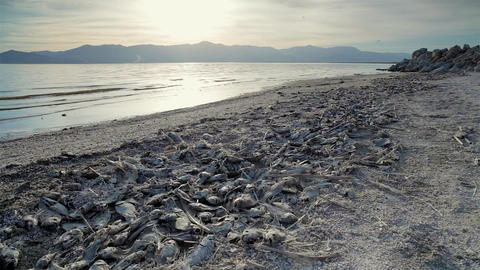 Dead Fish On Beach Footage