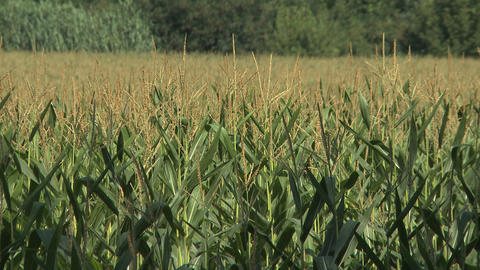 Corn Field In Hot Summer stock footage