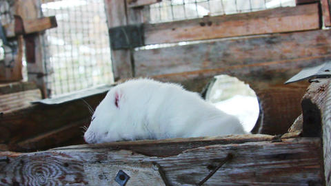 Mink in Fur Farm Live Action
