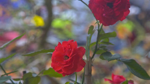 Macro Red Rose Blooms in Garden against Flickering Silhouettes Footage