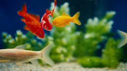 Slow Motion Goldfish Fish Swimming In Aquarium Live Action