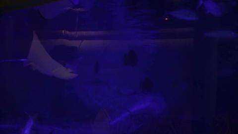 Manta ray, Live Action