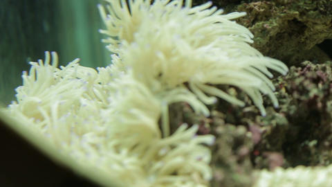 Cluster of Sea Anemone Footage