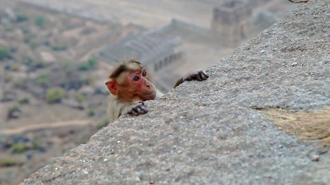 Little Funny Monkey Hides and Looks out from behind Stone Footage