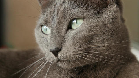 Sleepy Russian Blue Cat, Close Up, Hand Held Camera Footage