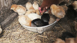 Small chicks with hen Image