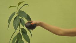 Picking fruit avocados Footage