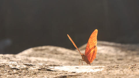 Orange Butterfly Flaps Wings on Stony Surface Footage