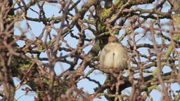 Blackcap on a tree Footage