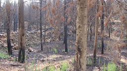 Burned pine forest Footage