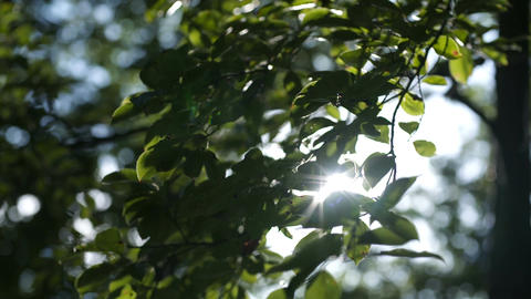 Morning sun comes up through leaves at sunrise Footage