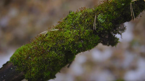 green moss on a tree branch in late fall. cinematic shot, slow motion. close-up Footage