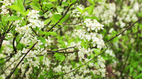 white flowers blossoming cherry orchard Footage