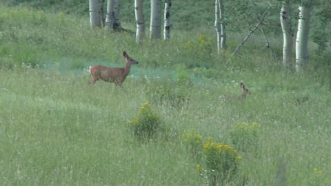 Doe with young baby deer moving through the tall grasses of northern Utah Footage