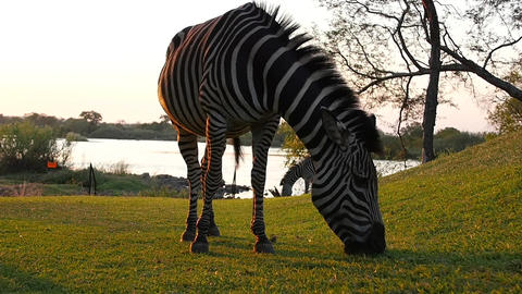 Zebra Eating Grass Footage