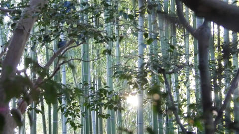 Sunlight Shines Through Bamboo Forest Footage