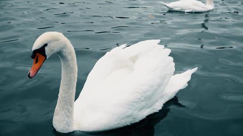 White Swans at Charles bridge, Vltava river. Prague Charles bridge old town Footage