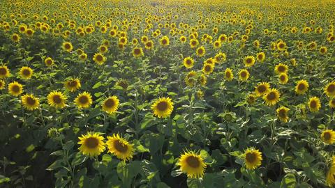 Aerial view of flowering sunflowers field Footage