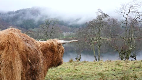 Highland Cattle in Pasture Near Lake Footage