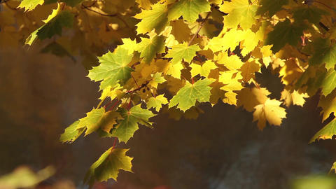 Autumn rays of sun illuminates yellow maple leaves Footage
