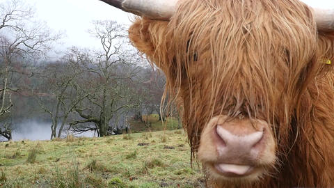 Hairy Cow Licks His Lips Footage