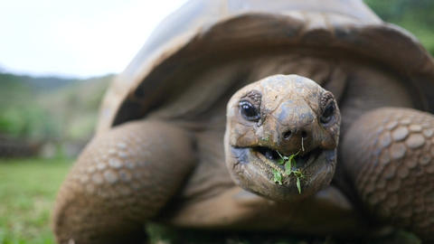 Tortoise Chews Grass Closeup Footage