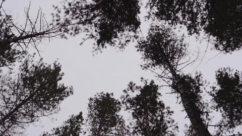 tops of trees in a forest against a cloudy sky. the crowns of trees sway in the Footage