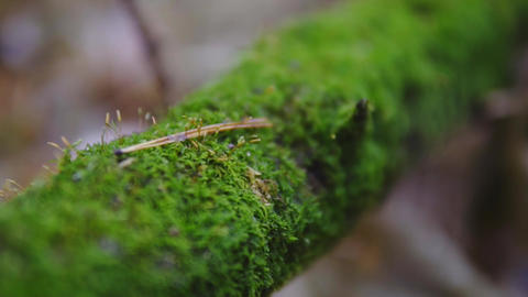 a branch of a tree covered with green moss. autumn forest, slow-motion shooting Footage