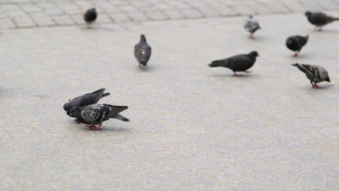 Flock of pigeons eating bread on town square Footage
