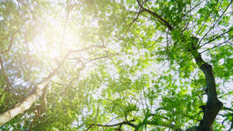 Crowns of trees with bright afternoon sun and rays Footage