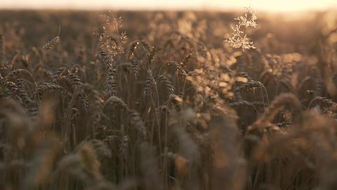 Golden Wheat in Sunlight Footage