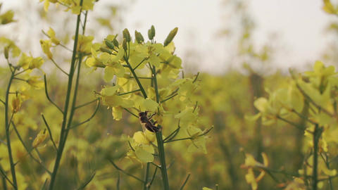 A bee harvests nectar on a yellow rapeseed flower close up stock footage Footage