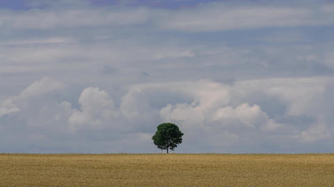 Lonely tree in the field and moving clouds in the sky time lapse stock footage Footage