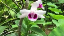 Dendrobium anosmum Phu Tho Footage