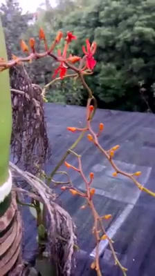 Orchidaceae, Orchids Phượng Hoàng Footage