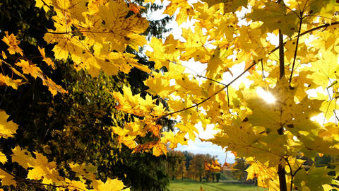 Maple yellow leaves in autumn and the rays of the blinding sun Footage