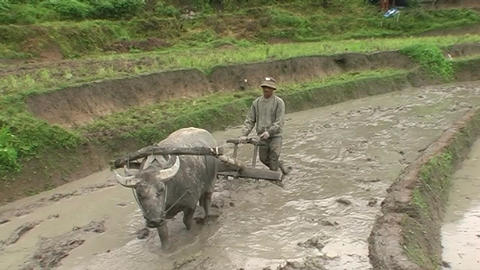 Farmer and buffalo plowing up land Live Action