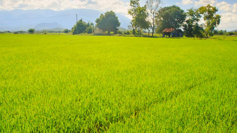 Camera Moves along Rice Field by Tropical Trees against Blue Sky Footage