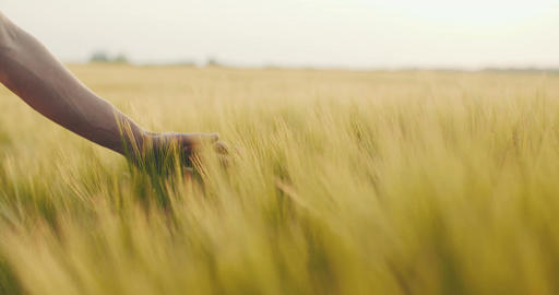 Close-up of man's hand running through wheat field, dolly shot. 4K Footage