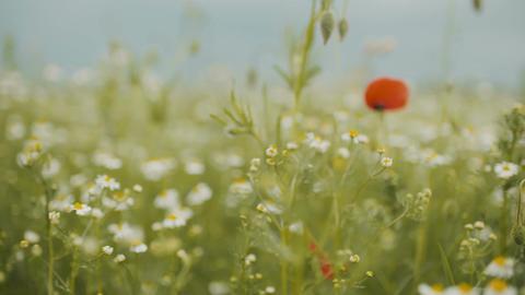 Beautiful Poppy seed field. Blooming Poppies Footage