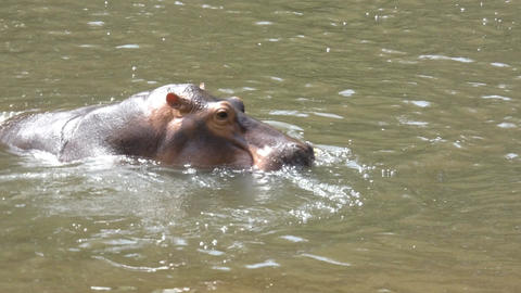4K hippopotamus mammal animal in the natural river Footage