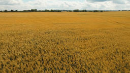 Aerial view of golden wheat field.Aerial video Footage