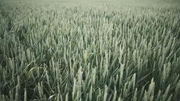 Field full of green wheat Image