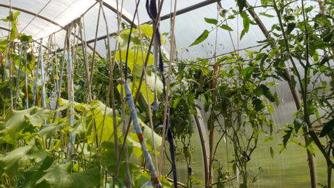 Tomatoes and cucumbers grow in a greenhouse Footage
