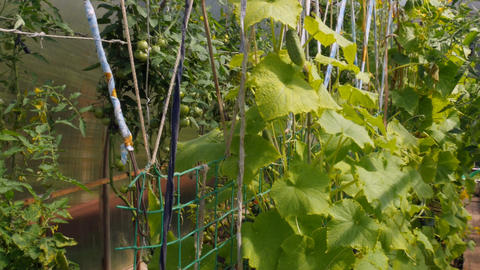 Many cucumbers grow in the greenhouse Footage