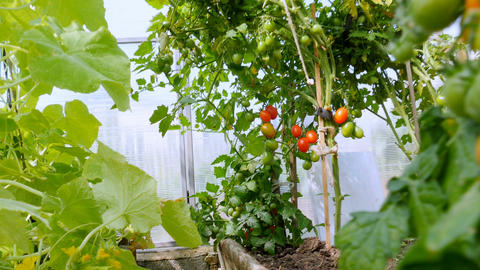 Shrubs with vegetables grow in the greenhouse Footage