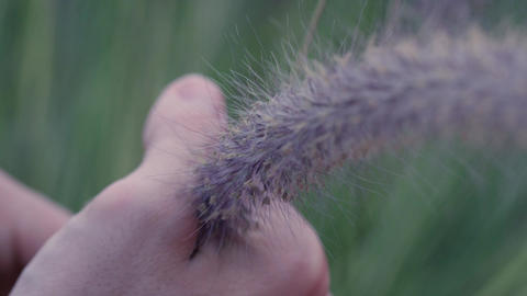 Closeup of hand squeezing fuzzy plant and causing seeds to fall out Footage