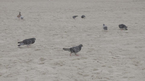 Birds scurrying across the sand at the beach Footage